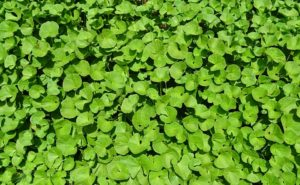 brahmi for hair growth